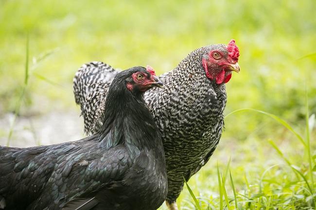 黒さつま地鶏